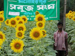 Scientific cultivation of Oil Seed (Sunflower)